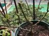 月季怎样抹芽?这几类芽一定要抹掉!