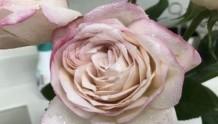 伊芙沙漠玫瑰