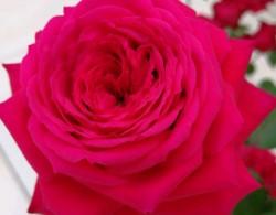 永远的蒙特卡洛Red Monte Rosa