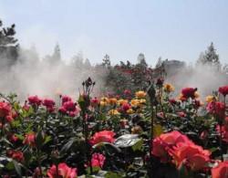郑州市月季公园:1200余种月季 争芳斗艳盛开