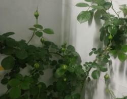 阳台种植龙沙宝石花墙试验