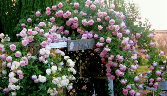 十大爬藤月季排行——好看、好养、勤花