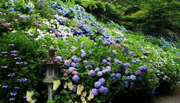 绣球的花开盛宴将启,热门绣球花品种推荐