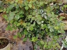 月季小苗一般养多久能开花
