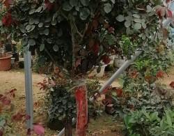 5-10公分古桩月季 大规格树状月季低价出售