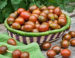 盆栽番茄的种植方法及管理技术