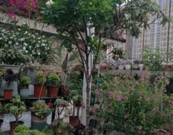 月季树嫁接设计以及品种选择