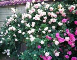花友2020年月季春花图赏,粉色龙沙宝石镇楼