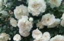 白米农(White Meillandina)