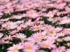 玛格丽特菊花怎么养,玛格丽特菊什么时候开花?
