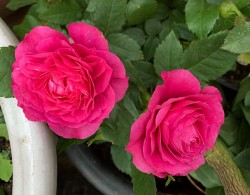 双子座Rose Terrazza Gemini