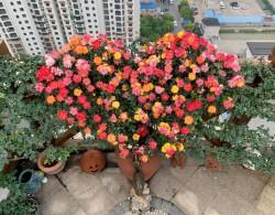 藤彩虹花墙,从春一直盛放到冬季