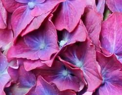 闪电绣球花