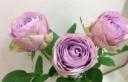 紫丁香Lilac Classic