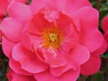 粉色至尊地毯Carpet Pink Supreme