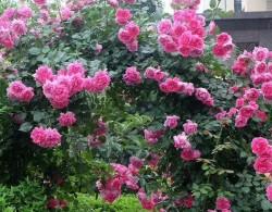 藤本月季为什么不肯开花?