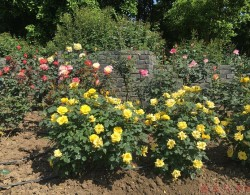 月季花如何用施磷酸二氢钾
