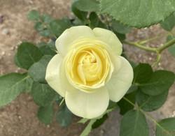 盆栽月季花用什么土比较好