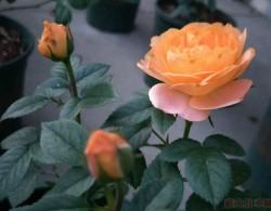果汁阳台月季一年开几次花