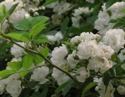 蔷薇花什么时候开,花期有多久?