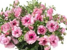 花毛茛玫瑰系列
