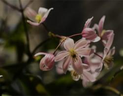 苹果花(Apple Blossom)