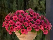 矮牵牛-草莓红丝绒
