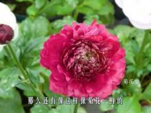 花毛茛-菊花型