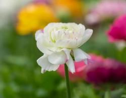 花毛茛-山茶花型