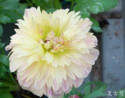 花毛茛-芍药花型