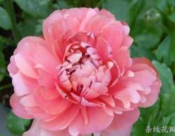 花毛茛-条纹花瓣型