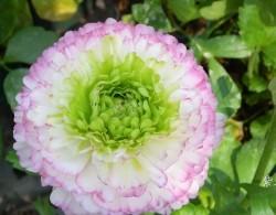 花毛茛-紫边绿心型