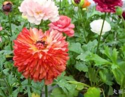 花毛茛-大丽花型