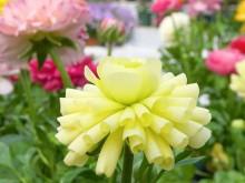 花毛茛-卷曲型