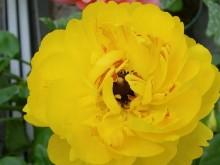 花毛茛-牡丹花型