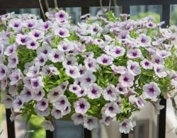 矮牵牛-冰淡紫