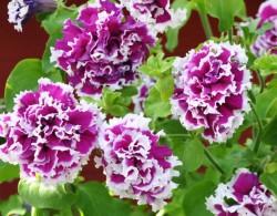 矮牵牛-旋转紫