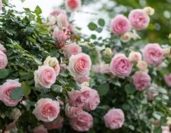 耐热的粉色月季品种有哪些?