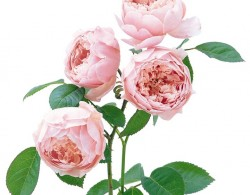安妮克城堡The Alnwick Rose