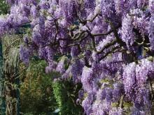 [紫藤]紫藤花图片大全_紫藤花种植方法