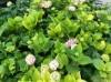 地栽绣球花的种植养护方法