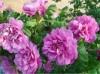 玫瑰长芽又蔫后还能活吗?