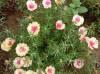 重瓣太阳花种植方法全过程