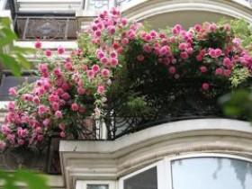 适合阳台种植的垂吊藤本月季品种推荐