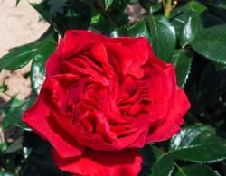 伏旧园之花Rose Clos Vougeot