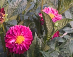 种大丽花用深盆还是浅盆好