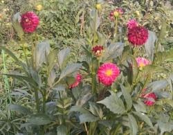 大丽花种子种植方法和注意事项