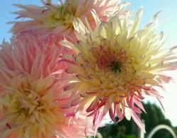 大丽花种子播种当年能开花吗
