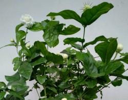 虎头茉莉适合在室内还是室外种植