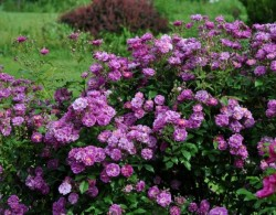 紫色天际线Purple Skyliner